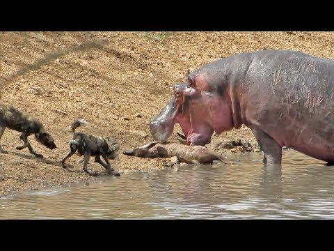 شاهد مشاهد مروعة لفرس النهر وهو يلتهم حيوانات كاملة