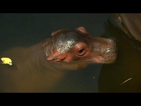 شاهد حديقة حيوانات في تايلاند تكشف عن مولود جديد لفرس النهر