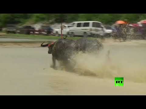 شاهد سباق جواميس غير مألوف في تايلاند