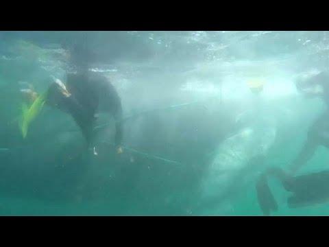 شاهد متطوعون يحررون حوت الأحدب من شبكة صيد بالقرب من ساحل بيرو