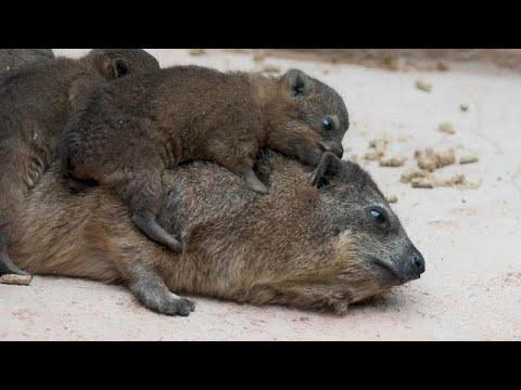 شاهد حديقة حيوانات إنجليزية تُرحب بثلاثة وافدين جدد من حيوان الوبر الصخري