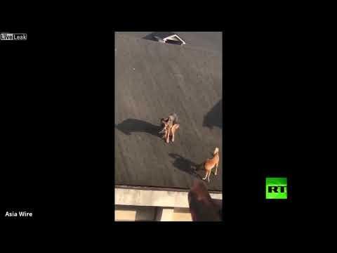 شاهد كلبان يتجولان أعلى سقف منزل وأحدهم يقضي حاجاته