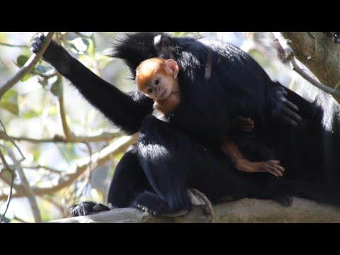 شاهد لحظة ولادة قرد ينتمي إلى فصيلة نادرة جدًا في أستراليا
