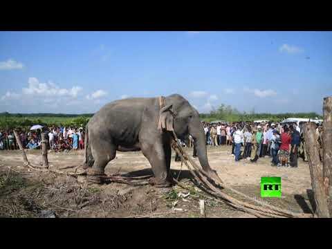 شاهد القبض على الفيل بن لادن بعد قتله 5 أشخاص في الهند