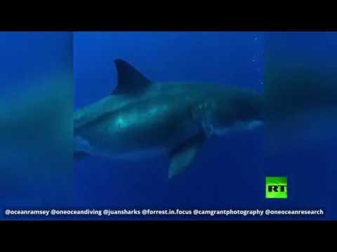 شاهد تجربة خطيرة بالسباحة قرب أكبر قرش في العالم