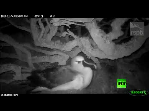 شاهد عصابات فئران تهاجم طيور القطرس البالغة في المحيط الأطلسي