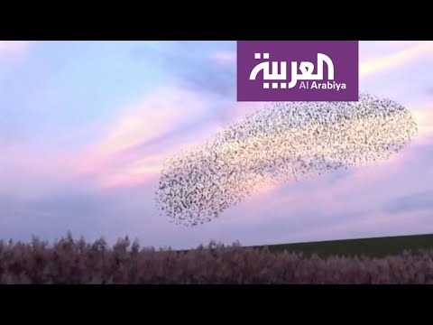 شاهد رقصات هندسية بالغة الدقة لطائر الزرزور بسماء فلسطين