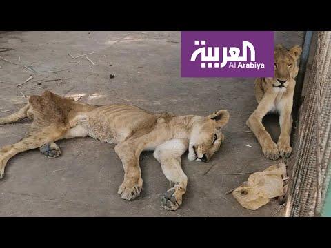 شاهد مشهد مؤلم لملك الغابة يترنح من الجوع في حديقة حيوان الخرطوم
