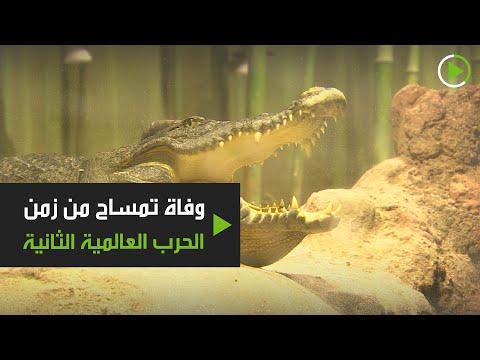 شاهد وفاة التمساح ساترون بحديقة الحيوانات في موسكو