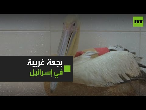 انقاذ بجعة غير عادية في إسرائيل