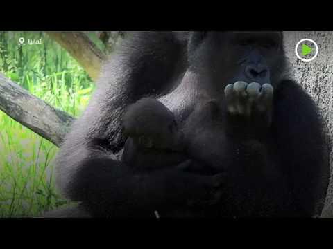 شاهد حديقة حيوانات في ألمانيا تحتفل بولادة صغار الغوريلا كيشا ومويو