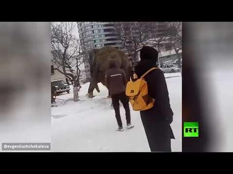 فرار فيلين من سيرك مدينة يكاترينبورغ الروسية