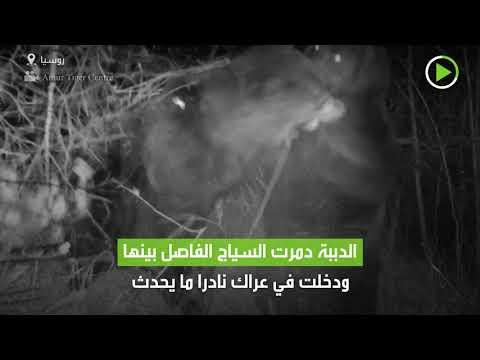 شاهد كاميرا مراقبة تُسجل لقطات نادرة لدبين يتصارعان ليلًا في روسيا
