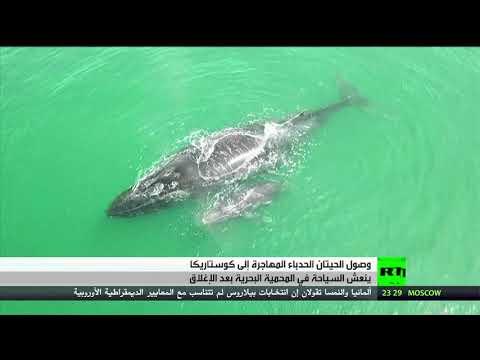 شاهد موسم هجرة الحيتان يُنعش حركة السياح في كوستاريكا
