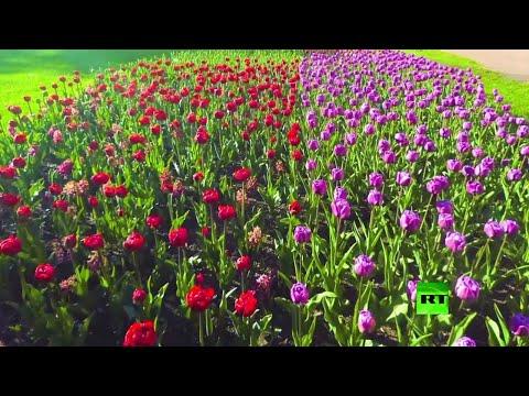 شاهد الولع بـالتوليب يُبرز اهتمام الناس بالأزهار التي لا تطول فترة إزهارها كثيرًا