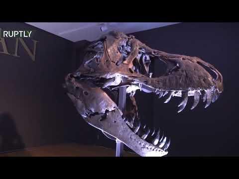شاهد مزاد لبيع أكبر الهياكل العظمية المعروفة لـديناصور تي ريكس