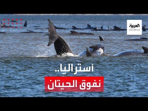 شاهد جنوح الحيتان يقلق أستراليا