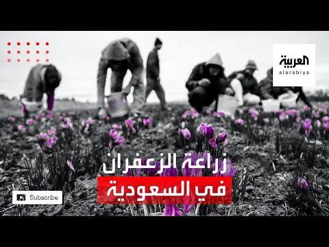 شاهد مزارع في جنوب السعودية يزرع الزعفران للمرة الأولى