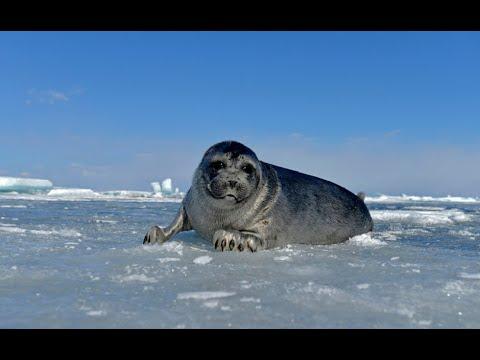 شاهد الآلاف من حيوانات الفقم تخرج على ثلج بحيرة البايكال