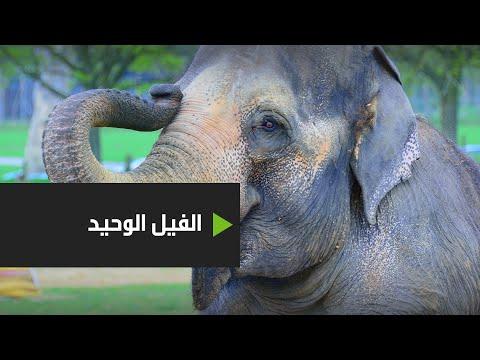 حفلة وداع للفيل كافان بعد 8 أعوام قضاها وحيدًا في حديقة حيوانات باكستانية