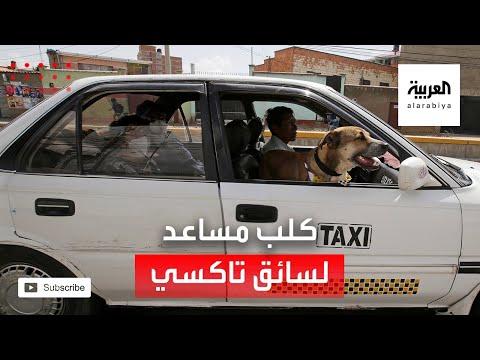 شاهد كلب يعمل مساعدًا لسائق سيارة أجرة في بوليفيا