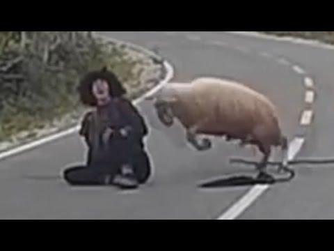 صوت الإمارات - بالفيديو خروف غاضب يضرب الراعي على الطريق العام