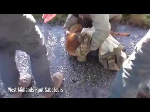 صوت الإمارات - بالفيديو  لقطات مروعة لكلاب صيد تأكل ثعلبًا حيًا