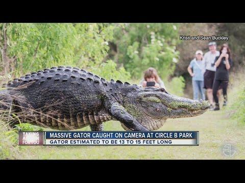 صوت الإمارات - شاهد تمساح ضخم يخوض غمار الفروسية