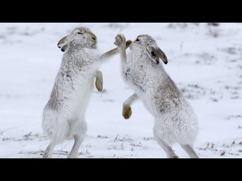 صوت الإمارات - شاهد ذكور الأرانب في قتال شرس دفاعًا عن أنثى