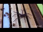 شاهد سرب نحل يدافع عن خليته أمام عنكبوت ضخم